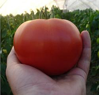 ЭЙДЖЕН F1 - семена томата индетерминантного, 250 семян, Enza Zaden, фото 1