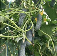СЕДРІК F1 - насіння огірка партенокарпічного, 500 насіння, Enza Zaden, фото 1