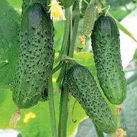 ТУМИ F1 - семена огурца партенокарпического, 500 семян, Enza Zaden , фото 1