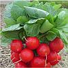 ЭСКАЛА F1 - семена редиса, 250 грамм, Enza Zaden