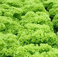 ЭСТРОЗА - семена салата тип Лолло Бионда, 5 грамм, Enza Zaden, фото 1