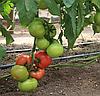 БЕРБЕРАНА F1 - семена томата индетерминантного, 250 семян, Enza Zaden