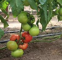 БЕРБЕРАНА F1 - семена томата индетерминантного 500 семян, Enza Zaden