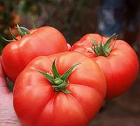 ЛЕЗАФОРТА F1 - семена томата индетерминантного 500 семян,Enza Zaden