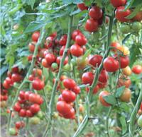 БУРАН F1 - семена томата индетерминантного 500 семян, Enza Zaden