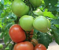 РАЛЛИ F1 - семена томата индетерминантного 500 семян, Enza Zaden