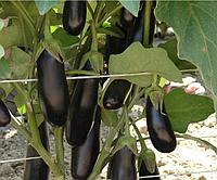 ДЕСТАН F1 - семена баклажана 10 грамм, Enza Zaden