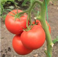 БЕЛФАСТ F1 - семена томата индетерминантного 500 семян, Enza Zaden