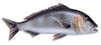 Муляж рыбы зубан Omer