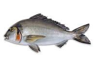 Муляж рыбы дорада Omer