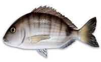 Муляж рыбы морской карась Omer