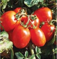 Марисса Нова F1 семена томата индет., фото 1