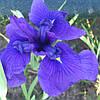 Ирис мечелистный Лоялти - Iris ensata Loyalti