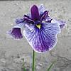 Ирис мечелистный Мармуроа - Iris ensata Marmuroa