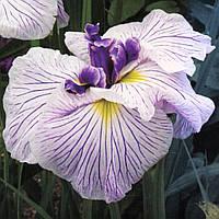 Ирис мечелистный Сорцэрэрс Триумф - Iris ensata Sorcerer*s Triumph