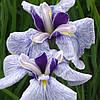 Ирис мечелистный Фортуна - Iris ensata Fortune