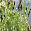 Осока высокая - Carex elata