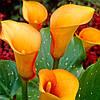 Калла цветная клубневая (Зантедеския)