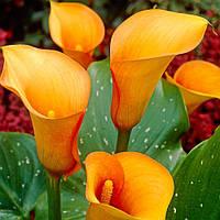 Калла цветная клубневая (Зантедеския), фото 1