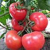 KS 14 F1 - семена томата, Kitano Seeds