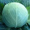 KS 29 F1 - семена капусты белокочанной, 2 500 семян, Kitano Seeds