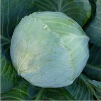 KS 60 F1 - семена капусты белокочанной, 2 500 семян, Kitano Seeds, фото 1
