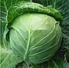 АКИРА F1 - семена капусты белокочанной, 2 500 семян, Kitano Seeds