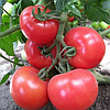 KS 14 F1 - семена томата индетерминантного, 1 000 семян, Kitano Seeds