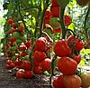 ТАЙЛЕР F1 - семена томата индетерминантного, 1 000 семян, Kitano Seeds