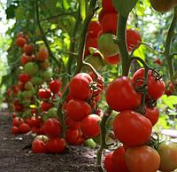ТАЙЛЕР F1 - семена томата индетерминантного, 1 000 семян, Kitano Seeds, фото 1