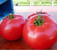 ПИНК БУШ F1 - семена томата детерминантного, 1 000 семян, Sakata, фото 1