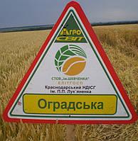 Оградська (Таня) - Семена пшеницы озимой от производителя Элитгосп им. Шевченко
