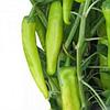 KS 448 F1 - семена перца острого 10 грамм, Kitano Seeds