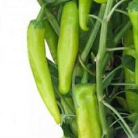 KS 448 F1 - семена перца острого 10 грамм, Kitano Seeds, фото 1