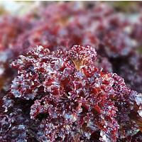 KS 101 - семена салата тип Батавия 5 грамм, Kitano Seeds, фото 1