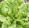KS 129 - семена салата, Kitano Seeds