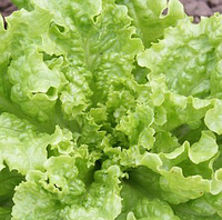 KS 129 - семена салата, Kitano Seeds, фото 1