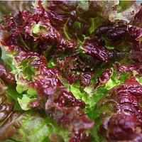KS 155 - семена салата тип Батавия  5 грамм, Kitano Seeds, фото 1