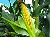 Семена кукурузы НС-400 Нови Сад (Сербия)