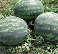 ЛЕДУС F1 - семена арбуза, Lark Seed, фото 1