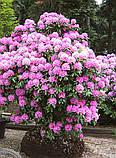 Rhododendron Roseum Elegans гор 1.3,, фото 4