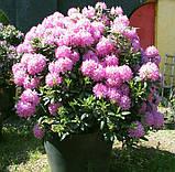 Rhododendron Roseum Elegans гор 1.3,, фото 3