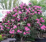 Rhododendron Roseum Elegans гор 1.3,, фото 5