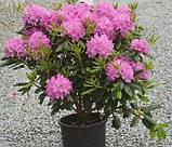 Rhododendron Roseum Elegans гор 1.3,, фото 2