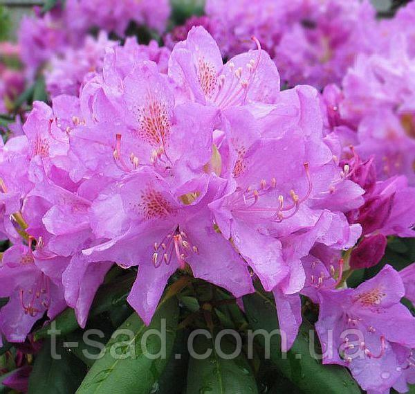 Rhododendron Roseum Elegans контейнер 4год