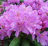 Rhododendron Roseum Elegans 1.5, 3года, фото 1