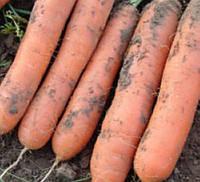 МАРИОН F1 - семена моркови 50 000 семян, Moravoseed