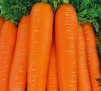 Тинга семена моркови Флакке
