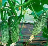 ЗУЗАНА F1 - семена огурца партенокарпического 1 000 семян, Moravoseed