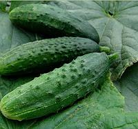 ПАТРІОТ F1 - насіння огірка партенокарпічного 1 000 насінин, Moravoseed, фото 1